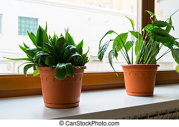 sansevieriya and spathiphyllum stand on windowsill -...