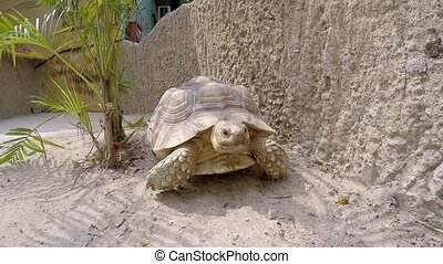 Large turtle crawling on sand in the zoo.