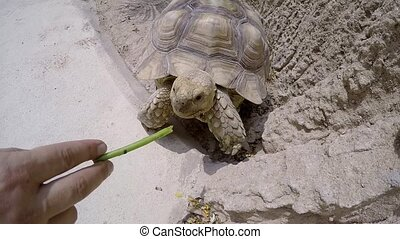 A large turtle eating grass from hand. Close-up.
