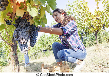 young woman picks grapes in a vineyard