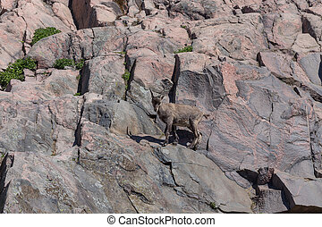 mountain goat on the hill - mountain goat on the side of a...
