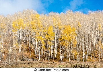 Only a few trees in Aspen grove with yellow leaves - Aspen...