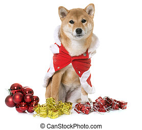 young dressed shiba inu in front of white background