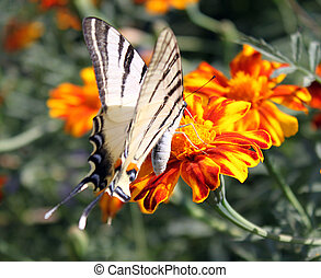butterfly on marigold - butterfly (Scarce Swallowtail)...