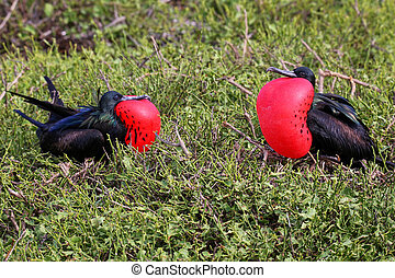 Male Great Frigatebirds on Genovesa Island, Galapagos...
