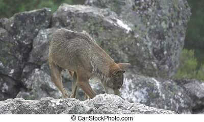 Slow motion of wolf over rocks - Front view of wolf leving...