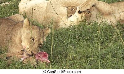 Young lion eating antelope, slow motion, flat profile -...