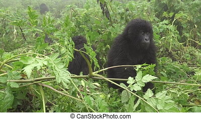 Young wild mountain gorilla in the forest - Closeup of wild...