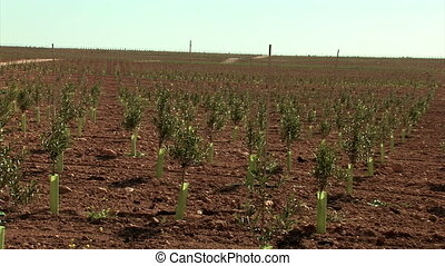 Wide shoot of olive field with infant trees