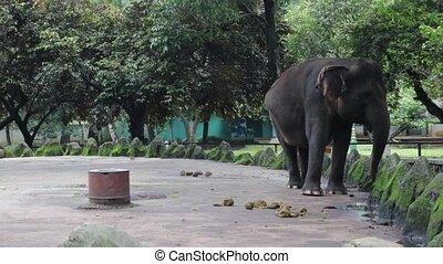 happy elephant walking on edge of compound - happy elephant...
