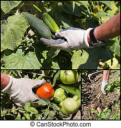 Collage of ripe vegetable in garden - Collage of ripe...