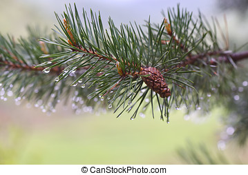 Amazing water drops on the green pine needles, closeup shot