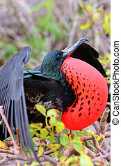 Male Great Frigatebird (Fregata minor) displaying, Genovesa...