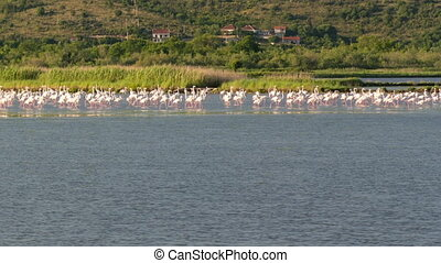 a flock of flamingos on the territory of Solana Ulcinj, time...