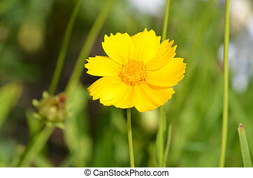 Prefect Blooming Coreopsis Flower in a Garden - Garden with...