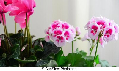 Beautiful flowers of cyclamen, rose and geranium