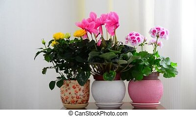 cyclamen, rose and geranium in white interior