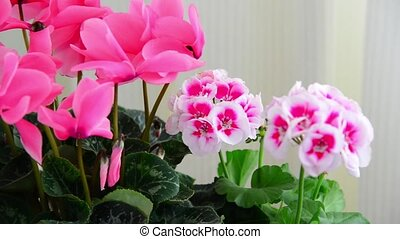 Beautiful flowers of cyclamen, rose and geranium - Beautiful...