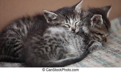 sleeping little kittens - sleeping little gray kitten close...