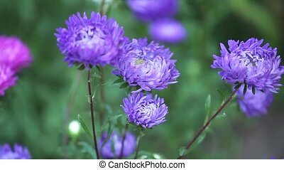 Blossoming  aster flower in the garden