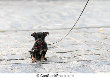 puppy dog on a leash