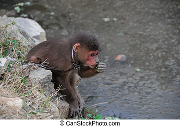 Monkey in Chains in Vietnam - Young Brown Monkey in Chains...