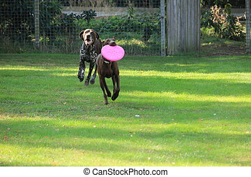 German Shorthaired Pointers, playing with a frisbee