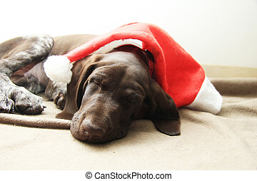 Sleeping Christmas puppy - German shorthaired pointer puppy,...