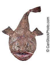 Monkfish - Big Monkfish (Lophius piscatorius) on a white...