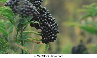Twig of wild blackberries in forest in full HD
