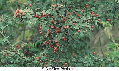 Close up bushes of dog-berries in full HD