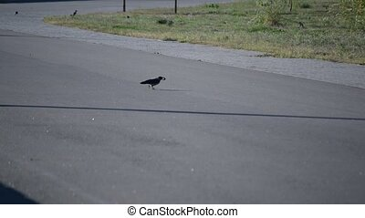 Crow on asphalt road takes walnut and flies away - Grey crow...