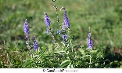 Sage flowers with spider web in green field in summer...