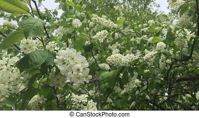 Flowers white lilac with green leaves.