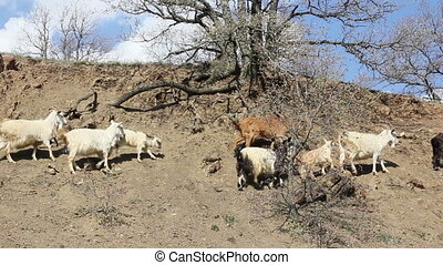 Herd of mountain goats go proudly, high in the rocky...