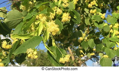 Linden tree in bloom against the blue sky.