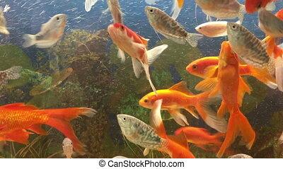 Aquarium fish orange and silver