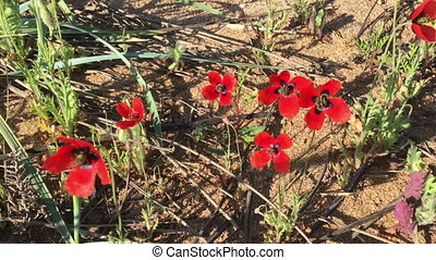 Field of beautiful red poppies in the wind.