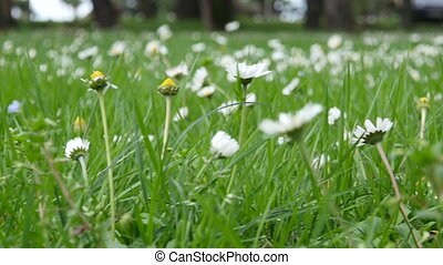 Wild chamomile flowers on a field on a sunny day. shallow...