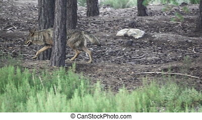 Slow motion of wolf walking in the forest - Side view of...