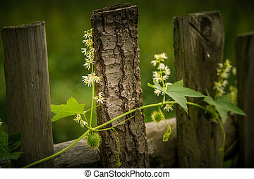 A beautiful blooming wild cucumber wine on a fence