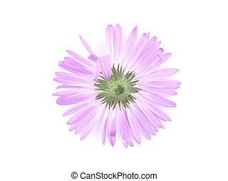 purple flowers years of asters on a white background