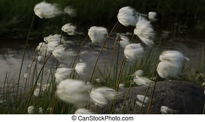 Beautiful cotton grass by the brook Spokoiny stock footage...