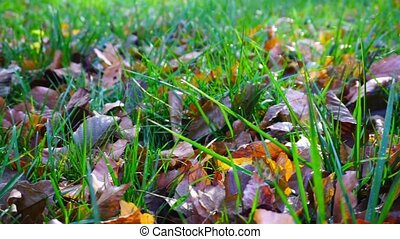 Red and yellow leaves on the green grass. Early Autumn. Beautiful background.