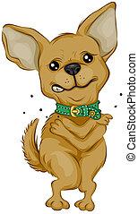 Chihuahua, arranhando