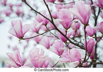 Pink Magnolia Flowers