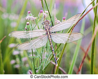 dragonfly waiting for the sun - newly hatched dragonfly...