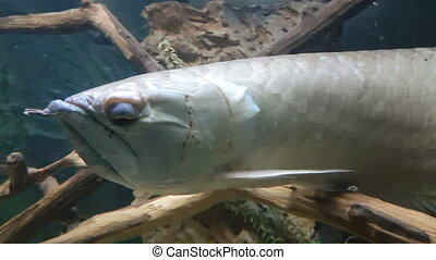 Osteoglossum is a genus of fish in the family Osteoglossidae...