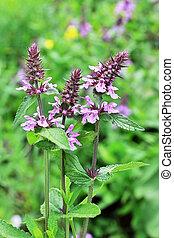 Marsh woundwort (lat.Stachys palustris). Wild medicinal...