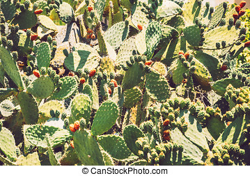 Prickly pears (Opuntia ficus-indica) - also known as indian...